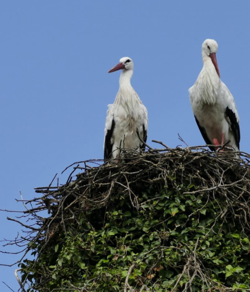Two birds perched on the edge of their nest.