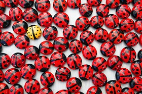 Single yellow ladybird among a crowd of red ones