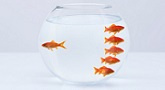 Goldfish separating from crowd in fishbowl