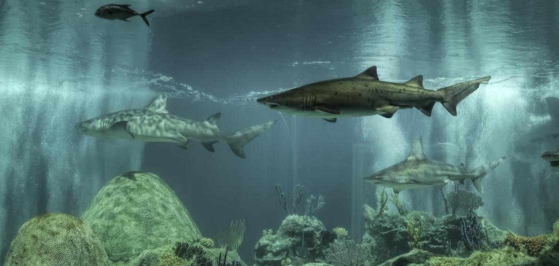 Sharks swmming in tank