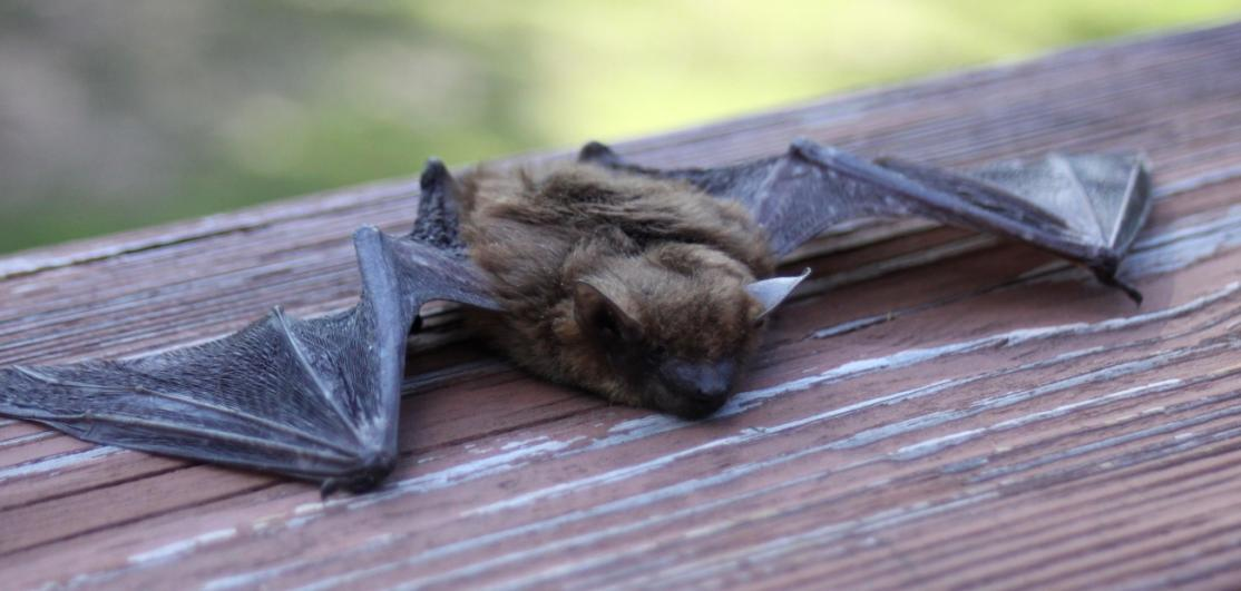 A bat resting on a porch railing.