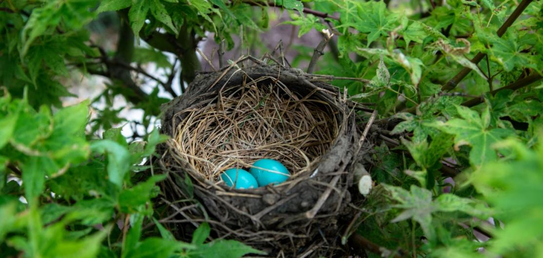 Two blue eggs in a bird's nest perched on a branch.