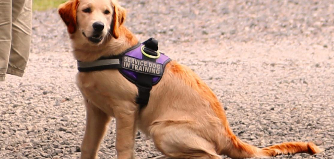 """Dog in """"Service Animal"""" harness"""