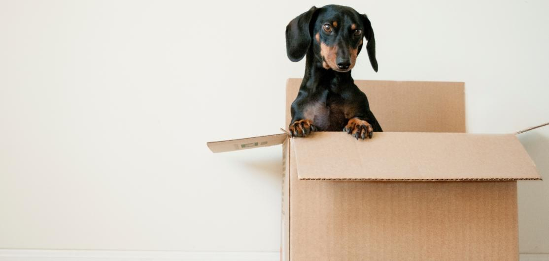 An eager dog in a moving box