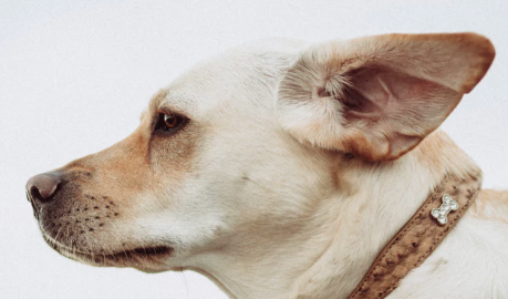 tan colored dog with collar listening