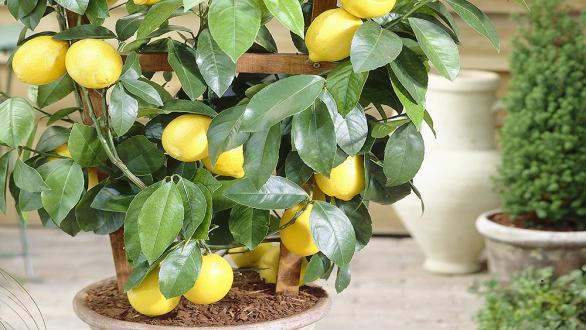 lemon tree in pot